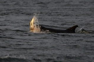 Dolphin feeding - Moray Firth