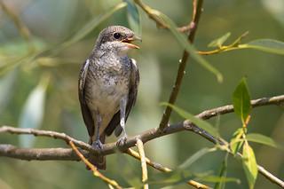 Red-backed Shrike - Neuntöter