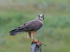 Swainson's Hawk (Flora to Fauna) Tags: stand