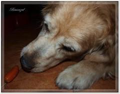 En cuanto se descuide me la zampo!! (bruixazul poc a poc...) Tags: perro dog zintia goldenretriever mascota zanahoria