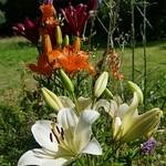 Au jardin, lys et verveines de Buenos-Aires, Bosdarros, Béarn, Pyrénées Atlantiques, Nouvelle-Aquitaine, France. thumbnail