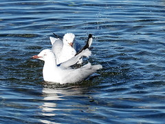Splashing duel (boeckli) Tags: beach deewhy seagulls water wasser bird vogel seagull möve australien sydney newsouthwales australia outdoor splash spritzen ngc top20waterpix