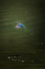 1S9A5895 (saundersfay) Tags: kingfisher hoveringwaterbirdiredescent