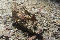 Нитевидная бородавчатка. Filamented devilfish (atardecer2018) Tags: дайвинг бали 2017 underwater fish рыбы scubadiving diving bali
