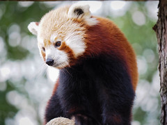 inquisitive Panda - Lumix G Vario 300mm F/5.6 (JackSoldano) Tags: inquisitive lumix g vario 300mm f56 red panda redpanda ngc