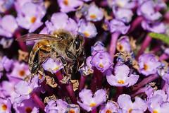 Abeille A7303829_DxO (jackez2010) Tags: ilce7m3 sel14tc fe100400mmf4556gmoss abeille
