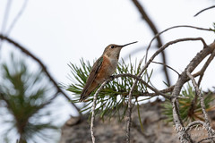 July 14, 2018 - A Hummingbird in Arapaho National Forest. (Tony's Takes)