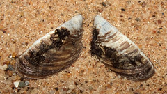 Zebra mussel (Dreissena polymorpha) (shadowshador) Tags: zebra mussel dreissena polymorpha neomura eukaryota opisthokonta holozoa filozoa animalia eumetazoa bilateria protostomia lophotrochozoa mollusca conchifera bivalvia heterodonta euheterodonta veneroida dreissenoidea dreissenidae conchology malacology invertebrate invertebrates taxonomy scientific classification biology shell shells sand sandy beach wildlife life lake mueritz germany gotthun freshwater