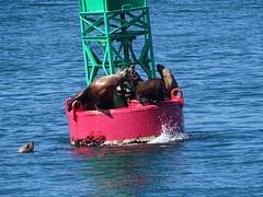 DSC03622 (jrucker94) Tags: juneau alaska cruise cruiseport seal seals buoy ocean inlet red green