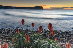 Sunrise Seascape and Aloe Vera in Flower (Merrillie) Tags: daybreak flowers sunrise aloevera landscape nature water dawn macmasters centralcoast morning sea newsouthwales rocks earlymorning nsw plant clouds ocean flora cloudy waterscape coastal macmastersbeach outdoors seascape australia coast sky waves