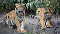 Juvenile Malayan Tigers (Chris Jackolski) Tags: red stripe look stare paws brothers