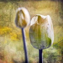 Bud and Bloom (Leslie Victor) Tags: mg58311515 digitalart tulip texture vibrant flower floral botanical