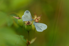 Wood Whites (microwyred) Tags: monkwood events nature butterflyinsect woodwhite places greencolor animal beautyinnature animalantenna wildlife lepidoptera macro summer multicolored flower closeup insect outdoors fragility plant yellow springtime animalwing