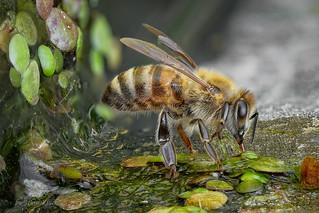 Honigbiene (Apis mellifera) bei der Wasseraufnahme