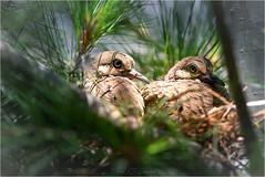 In the Nest (soupie1441) Tags: london ontario canada nest mourningdove chicks bird nature wildlife nikon d750 tamron70200mm animal tree dove
