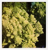 Fractal Food (tobysx70) Tags: polaroid originals color 600 instant film slr680 fractal food hollywood farmers market ivar avenue los angeles la california ca romanesco broccoli cauliflower green spiky plant vegetable flower bud toby hancock photography
