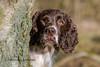 Looking (Flemming Andersen) Tags: zigzag spaniel tree pet nature dog outdoor cocker hund animal hurupthy northdenmarkregion denmark dk