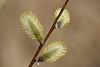 Pajuurvad (Jaan Keinaste) Tags: pentax k3 pentaxk3 eesti estonia loodus nature paju salix urb pajuurb catkin kevad spring