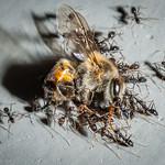 Bee vs Ant thumbnail