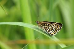Uneliblikas. Heteropterus morpheus (Jaan Keinaste) Tags: olympussh1 eesti estonia viljandimaa tipuküla soomaa liblikas butterfly uneliblikas heteropterusmorpheus
