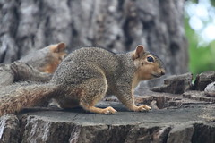 Squirrels in the Bur Oak Tree, Ross School of Business at the University of Michigan (June 29th, 2018) (cseeman) Tags: gobluesquirrels squirrels annarbor michigan animal campus universityofmichigan umsquirrels06292018 spring eating peanut juneumsquirrel oak buroak buroaktree rossschoolofbusiness oaktree cavitynest treecavitynest juveniles juvenilesquirrels foxsquirrels easternfoxsquirrels michiganfoxsquirrels universityofmichiganfoxsquirrels