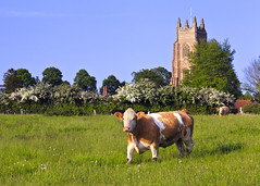 Suffolk (Boganeer) Tags: cow cattle field pasture livestock hawthorn church grass agriculture stmaryschurch tower steeple spire farm stokebynayland suffolk eastanglia england uk unitedkingdom canon canoneos canon6d village
