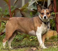 A Formidable Squirrel Hunter (ChrisF_2011) Tags: jackrat jackrussell ratterrier terrier brown littlehunter ratter