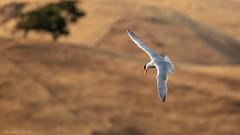 Catch it like Caspian Tern! (SDClickss) Tags: caspian tern caspiantern santaclaracountyparks edrlevincountypark calaveras birds waterfront dive diving fishing catchoftheday californiabirds wildlife birding