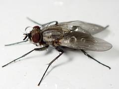 Grounded by the weather (Thiophene_Guy) Tags: thiopheneguy originalworks olympustoughtg4 tg4 olympustg4 olympusstylustg4 tough fly insect ringflash macro stomoxyini muscinae