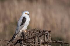 Fly Me DSC_3951 (BlueberryAsh) Tags: blackshoulderedkite kite bird birdofprey raptor birdonafence australianbird nikond500 tamron150600 westerntreatmentplant fencepost