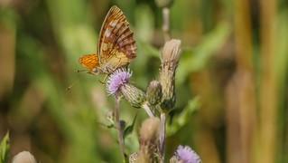 Butterfly - 5504