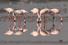 The Leg & Neck Show (Krisnendu Sar) Tags: krisnendusar nikond500 nikkor200500 lesserflamingos flamingos phoeniconaiasminor birdsofindia indianbirds migratorybirds litterannofkutchbirds animalplanet