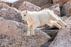 Mountain Goat kid bounds by - Sequence - 14 of 17