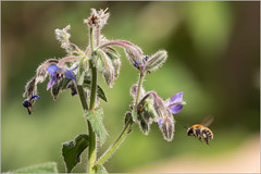 G9 100-400 (JB89100) Tags: 2018 abeille insectes stmartindt ou quoi