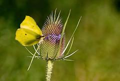 Distel_Falter (lotharmeyer) Tags: tiere schmetterling natur pflanze lotharmeyer nikon nature makro bokeh green