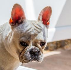 Albi - The French Bulldog (Olympus OM-D EM1-II & Panasonic-Leica 42.5mm Prime) (1 of 1) (markdbaynham) Tags: pet canine dog bulldog frenchbulldog albi cute portrait olympus omd em1 em1ii em1mk2 csc mirrorless micro43 microfourthird microfourthirds mft m43 evil 425mm prime primelens panasonicleica leicadg nocticron m43rd micro43rd olympusomd olympusmft smalldog smallcanine