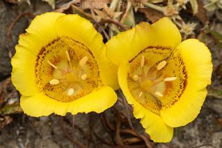 Yellow mariposa lily (Calochortus luteus)