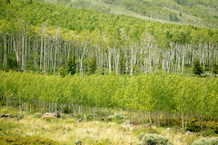 FR02K.jpg (koque2235) Tags: quakingaspen aspen populus populustremuloides aspenclone pandoclone treeclone plantclone deciduoustree deciduousforest summeraspen botany day outdoors colorimage photography nobody largegroupofplants fullframe closeup sideview horizontal wasatchmountains utah usa scenic beautyinnature tranquil environment awe relaxation reflect peaceful landscape growth freshness naturalworld pure idyllic travel destination vacation