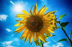 """Sun is shining, waether is sweet yeah..."" (SurfacePics) Tags: altkreiswittlage bohmte badessen wehrendorf landkreisosnabrück osnabrückerland lkos niedersachsen nordwesten norddeutschland lowersaxony deutschland germany europe europa sommer summer sonnenblume sonne sunny sun sunlight sky himmel bluesky blau blue sunflower helianthusannuus commonsunflower daschfeld surfacepics juli 2018 hitze amazing stunning sonyalpha77ii sonyalpha photo foto instagram instalike photography fotografie"