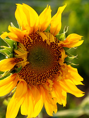 Sunflower Field (www.icon0.com) Tags: field meadow summer outdoor closeup clear agriculture green floral petal yellow sunny sunflower orange farm sun season flora colorful rural overcast country background blooming natural vibrant spring earth flower leaf culture botanical bright crop circle outside blossom plantation farming growth blue plant beauty sky scene beautiful nature botany landscape