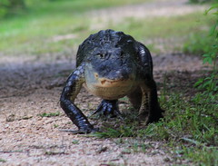 American alligator (Alligator mississippiensis) (im2fast4u2c) Tags: crocodilian reptile gator or common alligato american alligator mississippiensis