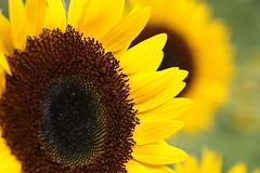 IMG_8059M ひまわり (陳炯垣) Tags: nature sunflower blossom blooming petal ひまわり