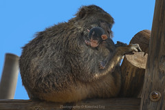 Hug... (@Katerina Log) Tags: hug family child mother outdoor monkey attikazoopark katerinalog wildlife wild wood wildanimal mammal animal natura nature sonyilce6500