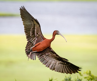Glossy Ibis banking