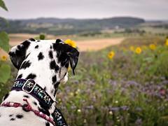 Bunt. (jens.steinbeisser) Tags: deutschland olympusepl3 tierfotografie dalmatiner m42objektiv hund meyerdomiplanpentaflex50mmf28 hundefotografie hundefotos rawtherapee niedersachsen outdoor bokeh focalreducer