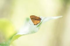 Calycopis demonassa (fabriciodo2) Tags: calycopisdemonassa papillon nature macro sigma150 uxmal mexique