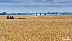 Getreidefeld (garzer06) Tags: himmel wolken getreide baum wasser deutschland mecklenburgvorpommern landschaft landschaftsfoto inselrügen landschaftsbild landscapephotography insel getreidefeld rügen poseritz landschaftsfotografie