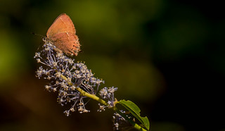 Nelson's Hairstreak (Callophrys nelsoni )