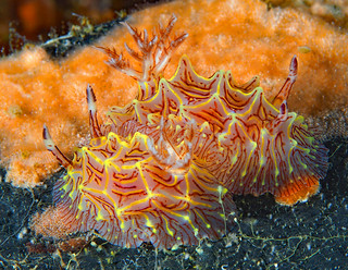 Nudibranchs in Love- Halgerda willeyi's