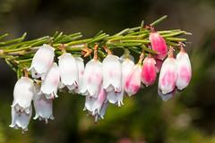 Portuguese Heath (Erica lusitanica) - flower, buds, leaves ([S u m m i t] s c a p e) Tags: ericalusitanica portugueseheath spanishheath nativeplants pink weeds white winter ericaceae